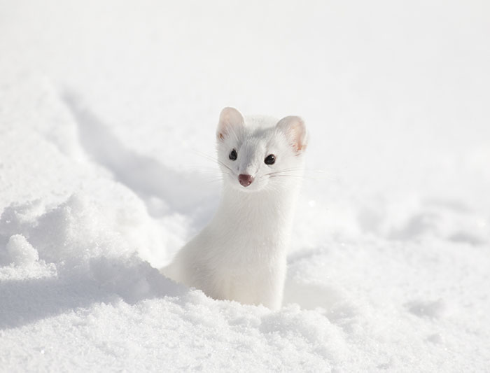 Winter Whiteout: Animals that Go With the Snow